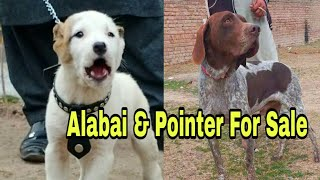 Alabai & pointer Dog for Sale 03139393944 delivery all Pakistan #shorts #shortvideos #youtubeshorts