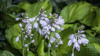 Top Shade Perennials for Landscaping