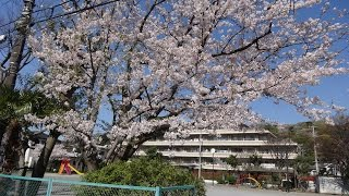 鎌倉・大船・玉縄の桜2017