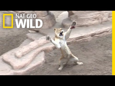 Rescued Lions and Tigers Re-Learn How to Hunt   Nat Geo Wild