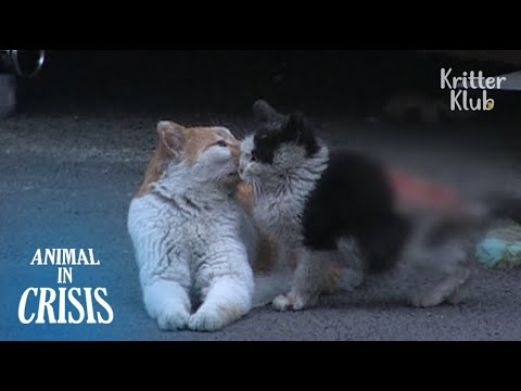 Cat Became A Mother To A Severely Wounded Kitten Who Lost His Mom | Animal in Crisis EP107