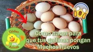 Download Mp3 ¿como Hacer Que Tus Gallinas Pongan Huevos A Diario