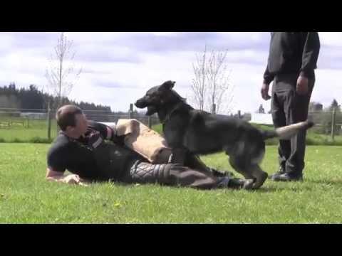 Master Level 3 IPO Versatility Protection German Shepherd