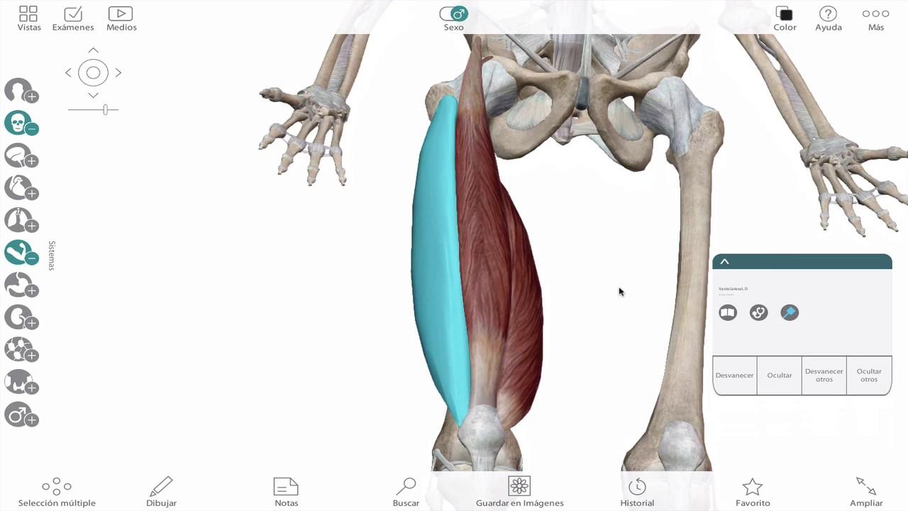 Músculos de la región anterior y media del Muslo - YouTube