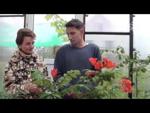 Тюльпановое дерево - спатодея колокольчатая