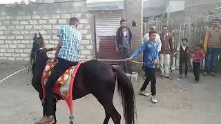 Badal pagal horse pipardi