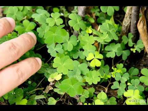 Como encontrar un trebol de cuatro hojas
