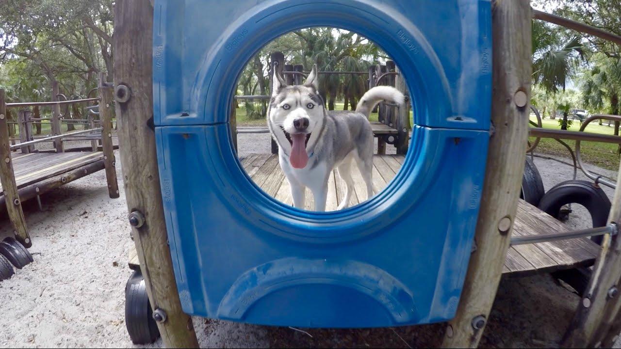 Husky on Kids Playground!