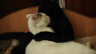 Смешное видео с кошками. Любовь Белки и Черныша