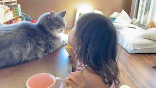 何度も撫でてもらいに来る猫 ノルウェージャンフォレストキャットA cat that comes to be stroked many times. Norwegian Forest Cat.