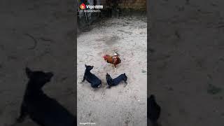 Fight murgha or dogs ka muqabla funny videos