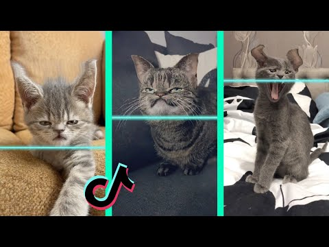 Time Warp Scan tiktok cat compilation (filter tiktok)