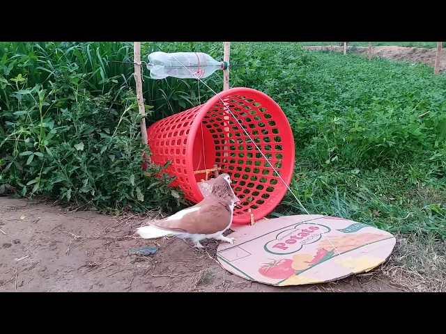 Top 2 Amazing Bird Catching Techniques (Bird Traps) With Basket and Plier
