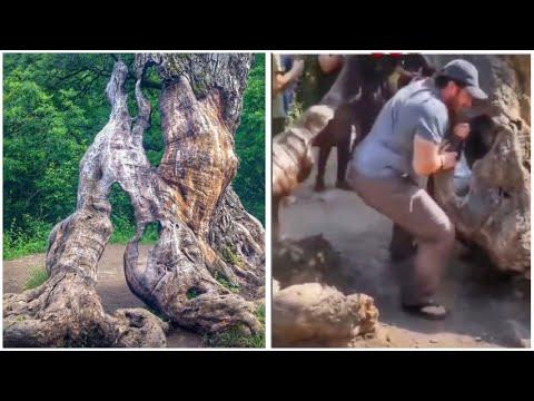 Ինչպես է տղան երկու մասի բաժանում Հաղարծինի «Երազանքների ծառը», որն ուներ 700 տարվա պատմություն