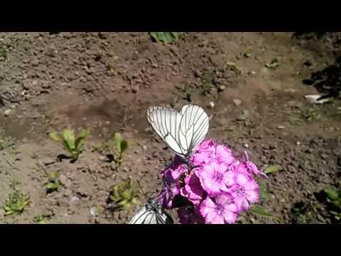 Бабочки - капустницы (slow).