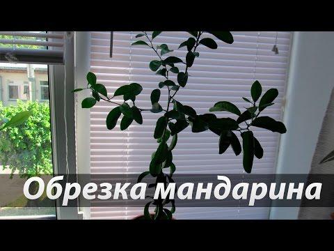 Обрезка цитрусовых на примере мандарина