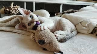 Devon Rex kitten Plum Pudding 7wks