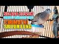 Perkutut Lokal Sri Lumbung Suara Besar Gacor Asli Tanpa Rekayasa  Mp3 - Mp4 Download