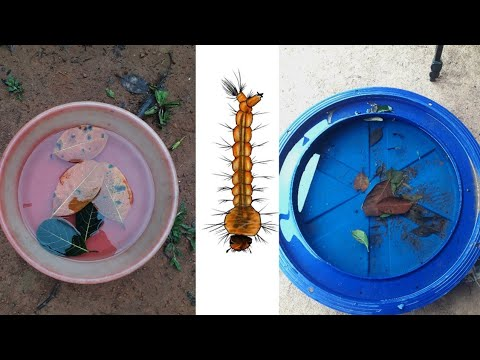 How To Culture Mosquito Larvae Fish Food | Live Fish Food