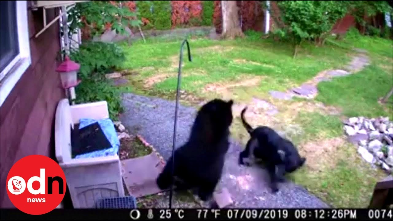 איך הבריח הכלב הקטן את הדוב שאכל את מזון הציפורים?