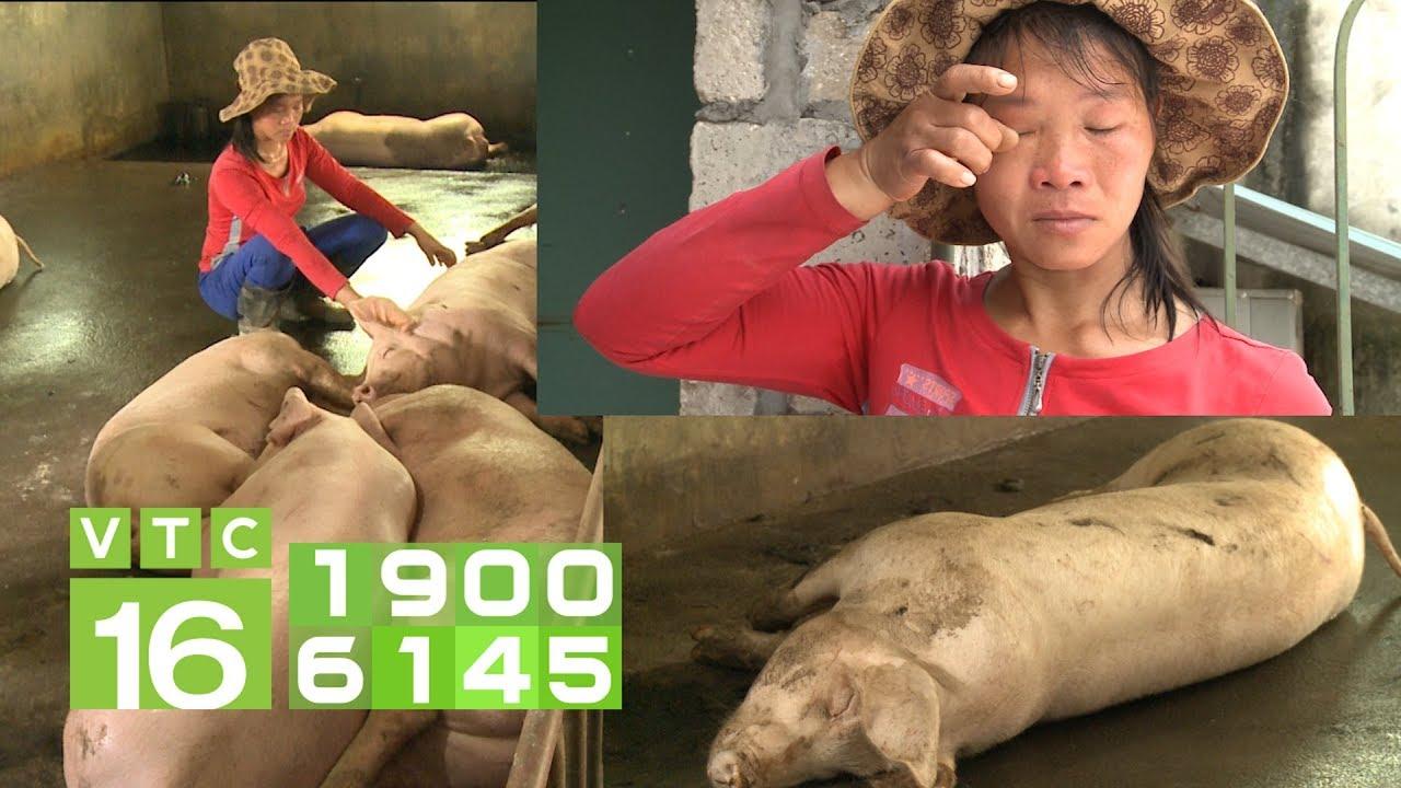 Nông dân kiệt quệ vì dịch tả lợn Châu Phi | VTC16