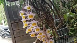 24/3 phi điệp tím rừng hoa xổ số, hoàng thảo kèn hoa tím đâm ...lh.0348886368