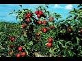 Cómo cultivar Manzana - TvAgro por Juan Gonzalo Angel