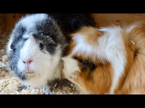 Guinea Pig Home Ideas Our Cage Set Ups Through The Years
