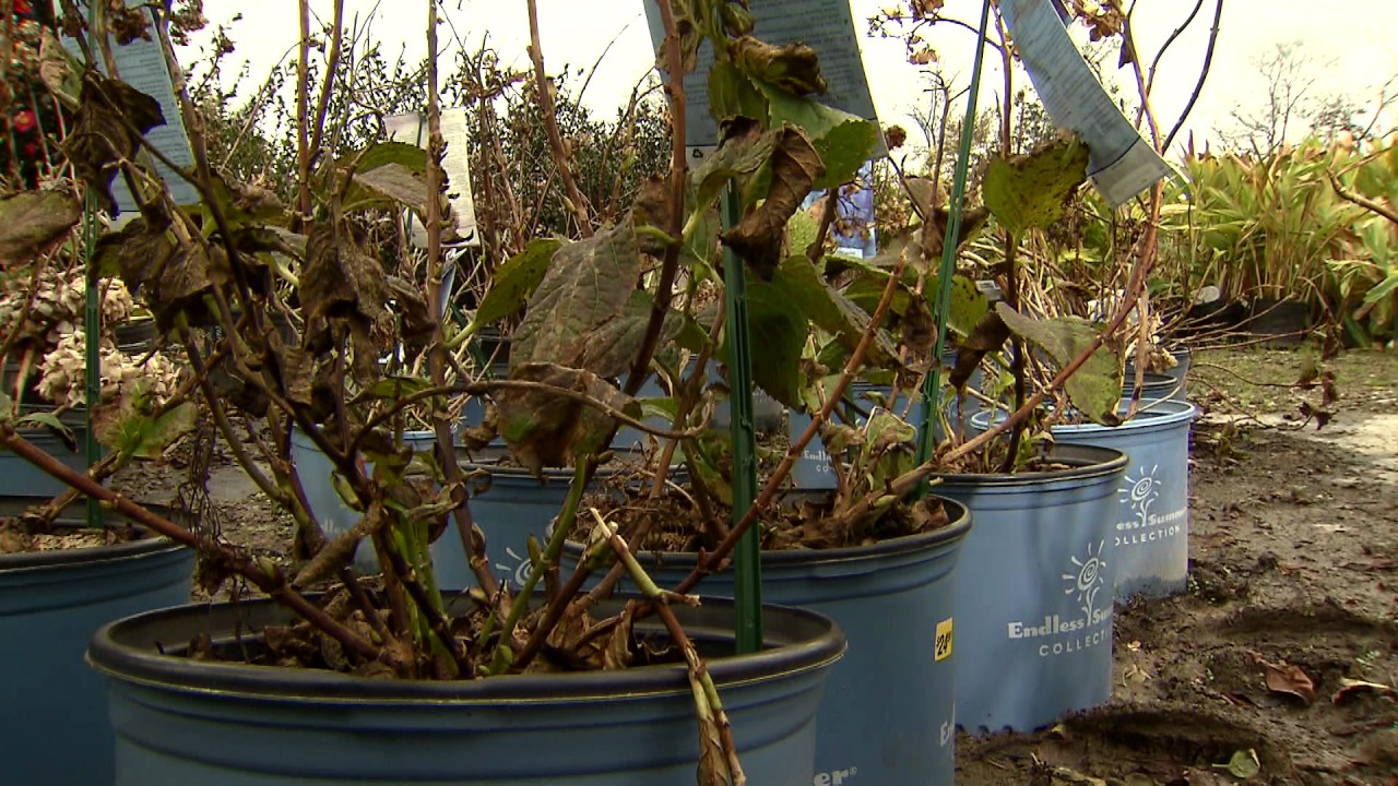 donu0027t prune hydrangea buds during winter - When To Trim Hydrangea