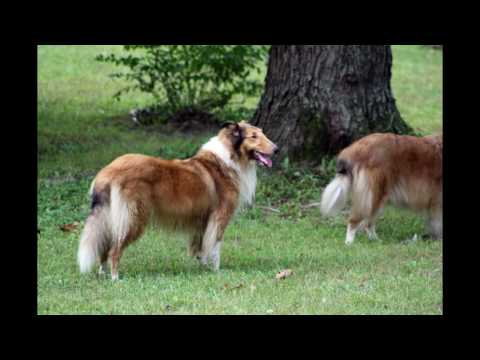2016 Tri State Collie Rescue Reunion