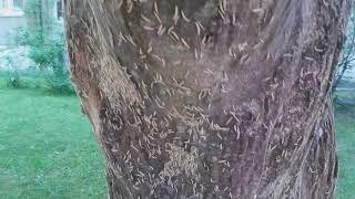 Черёмуховая моль жрёт не только черёмуху !!!