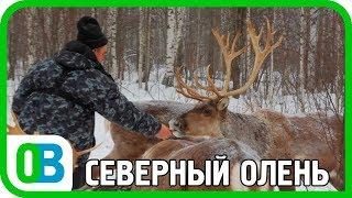 Северный олень в Нижегородской области! Кордон Черноречье. Заповедник Керженский