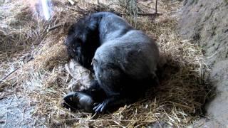 Горилла спит(, 2012-02-26T11:50:00.000Z)