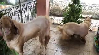 Most Beautiful Hansa Goats Raised At Home | Eid-ul-Adha 2018