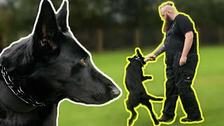 Leash Aggressive German Shepherd Has Owner Unsure What To Do