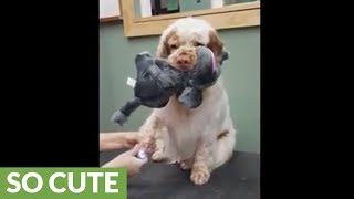 Clumber Spaniel holds toy in mouth during pedicure