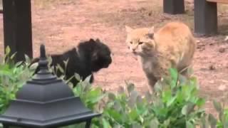Драка котов, с озвучкой из фильма Кошки приколы водевильный котэ