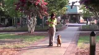 Distraction Training, Vizsla Puppy, Day 13: Downtown, Sports, Shopping