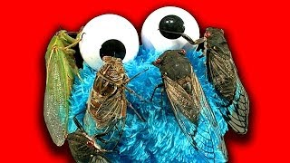Cicada Show The Most Amazing Insect Loves Cookie Monster