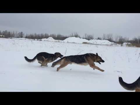 Protectors of earth - German shepherd pack running free