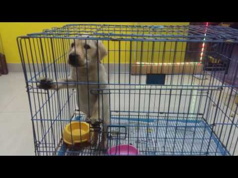 LAB PUPPIES FOR SALE IN CHENNAI PET SHOP, CALL 9094315333
