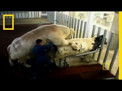 Super Cow Creators | | National Geographic