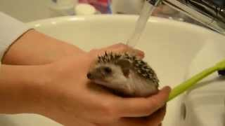 Video Hedgehog bath time download MP3, 3GP, MP4, WEBM, AVI, FLV Juni 2018