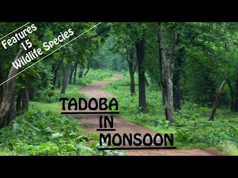 Tadoba Safari In Monsoon   Tadoba Wildlife In Monsoon   Discover Wild India