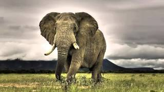 The sound of screaming elephant | Звук крика слона