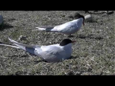 arctic tern nesting in north iceland (video by ben&hanny)
