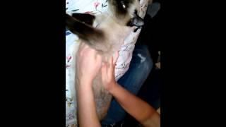Массаж кормящей кошке.