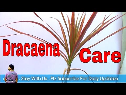 घर में लगाए ये खूबसूरत पौधा / How to Grow Houseplants Dracaena / Mammal Bonsai