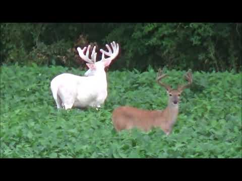 Incredibly Rare Sighting of Albino Whitetail Deer in White County, Illinois