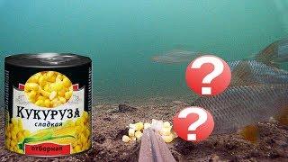 ВОТ КТО ЛЮБИТ КУКУРУЗУ!!! Подводная съемка осенью. Рыбалка 2019